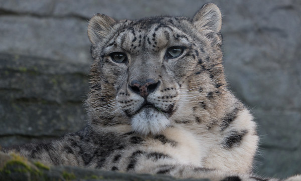 Animals, Big Cat, Leopard, Marwell Zoo, Snow Leopard @ MarWell Zoo, City of Winchester,England