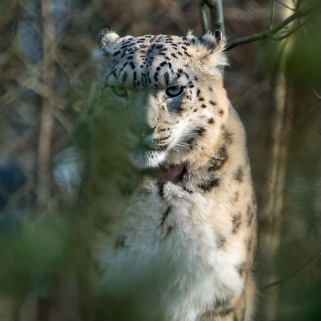 Animals, Big Cat, Leopard, Marwell Zoo, Snow Leopard @ Marwell Zoo, City of Winchester,England - 24/02/2018