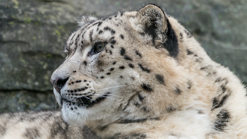 Animals, Big Cat, Leopard, Marwell Zoo, Snow Leopard @ Marwell Zoo, City of Winchester,England - 28/01/2018