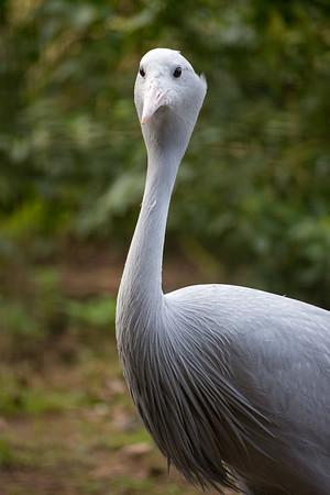 Animals, Birds, Marwell Zoo, Stanley Crane - 20/03/2012