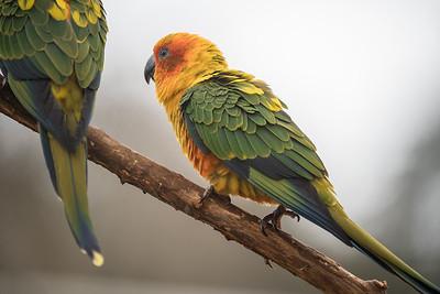 Animals, Birds, Marwell Zoo, Sun Conure - 30/03/2016