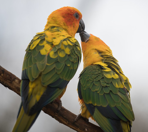 Animals, Birds, Marwell Zoo, Sun Conure - 30/03/2016