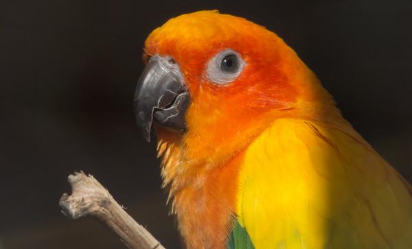 Animals, Birds, Marwell Zoo, Sun Conure - 02/02/2013