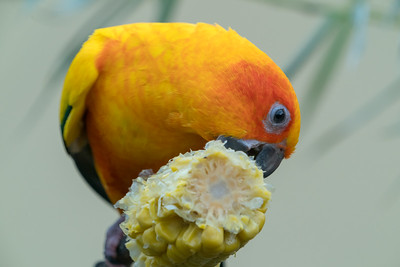 Animals, Birds, Marwell Zoo, Sun Conure @ Marwell Zoo, City of Winchester,England - 28/01/2018