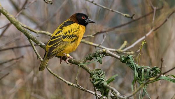 Animals, Birds, Marwell Zoo, Village Weaver, Walkthrough Aviary @ Marwell Zoo, City of Winchester,England - 22/03/2018