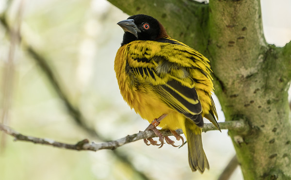 Animals, Birds, Marwell Zoo, Village Weaver @ Marwell Zoo, City of Winchester,England - 26/04/2018