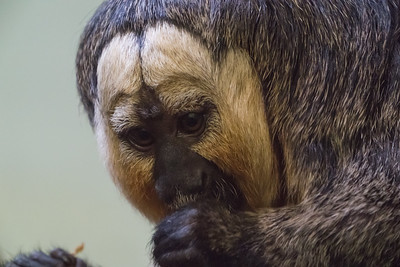 Animals, Marwell Zoo, White-Faced Saki @ Colden Common, City of Winchester,England