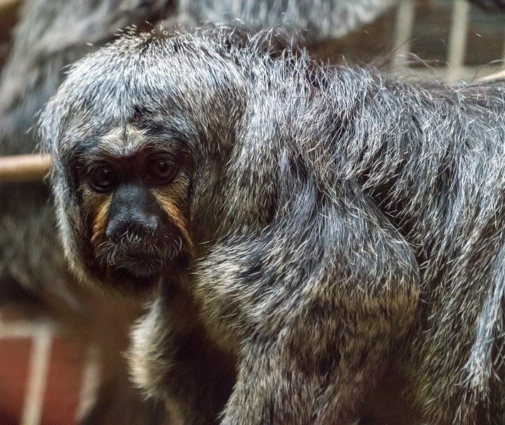 Animals, Marwell Zoo, White-Faced Saki @ Marwell Zoo, City of Winchester,England - 22/03/2018