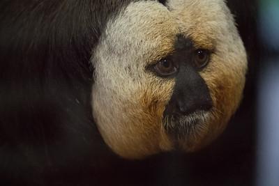 Animals, Marwell Zoo, White-Faced Saki - 09/12/2017