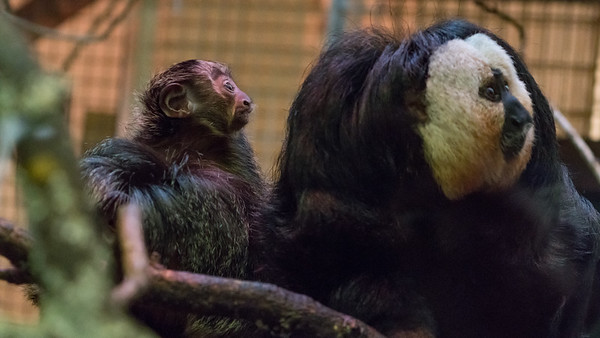 Animals, Marwell Zoo, White-Faced Saki @ Marwell Zoo, City of Winchester,England - 24/02/2018