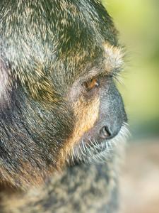 Animals, Marwell Zoo, White-Faced Saki - 02/02/2013