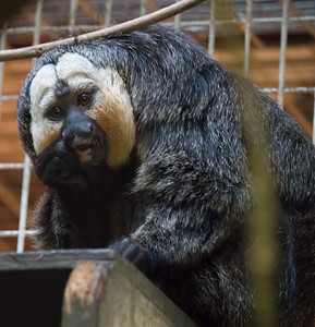 Animals, Marwell Zoo, White-Faced Saki - 09/12/2017