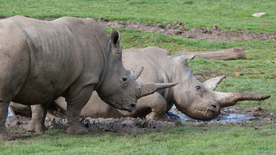 Animals, Marwell Zoo, White Rhinoceros - 25/03/2005