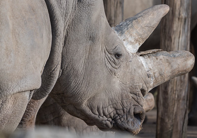 Animals, Marwell Zoo, White Rhinoceros @ Marwell Zoo, City of Winchester,England