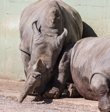 Animals, Marwell Zoo, White Rhinoceros - 02/04/2013