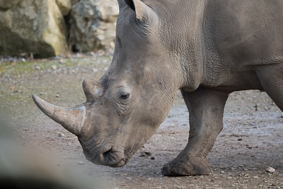 Animals, Marwell Zoo, White Rhinoceros; ,,,