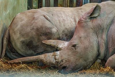 Animals, Marwell Zoo, White Rhinoceros - 03/01/2009