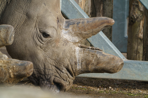 Animals, Marwell Zoo, White Rhinoceros - 09/12/2017