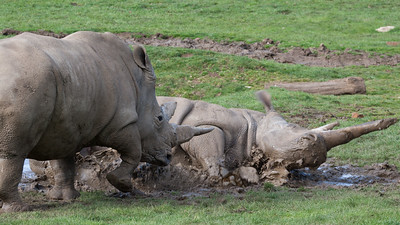 Animals, Marwell Zoo, White Rhinoceros - 25/03/2005