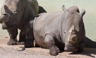 Animals, Marwell Zoo, White Rhinoceros - 02/04/2013