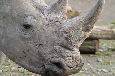 Animals, Marwell Zoo, White Rhinoceros @ Colden Common, City of Winchester,England
