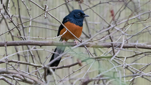 Animals, Birds, Marwell Zoo, Walkthrough Aviary, White-rumped Shama @ MarWell Zoo, City of Winchester,England