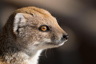 Animals, Marwell Zoo, Mongoose, Yellow Mongoose @ Marwell Zoo, City of Winchester,England - 24/02/2018