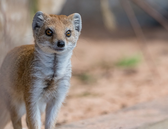 Animals, Marwell Zoo, Mongoose, Yellow Mongoose @ Marwell Zoo, City of Winchester,England - 26/04/2018