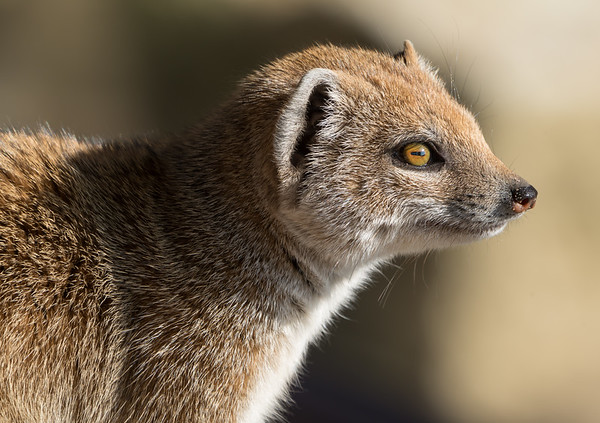 Animals, Marwell Zoo, Mongoose, Yellow Mongoose @ Marwell Zoo, City of Winchester,England - 24/02/2018