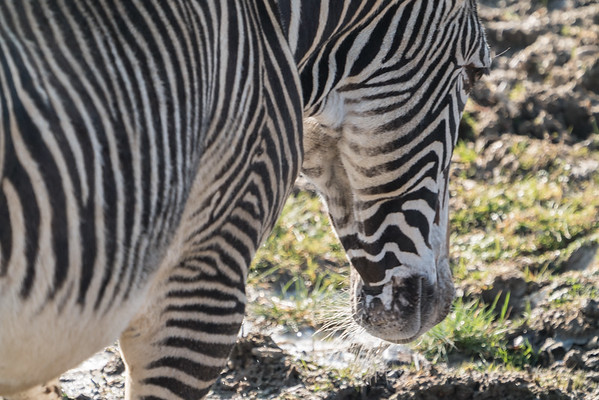 Animals, Grevy's Zebra, Marwell Zoo, Zebra @ Marwell Zoo, City of Winchester,England - 24/02/2018