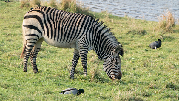 Animals, Marwell Zoo, Zebra @ Colden Common, City of Winchester,England