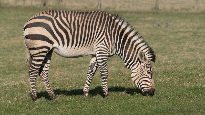 Animals, Marwell Zoo, Zebra @ Marwell Zoo, City of Winchester,England - 24/02/2018