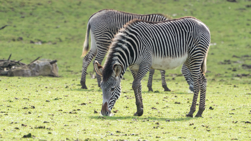 Animals, Grevy's, Marwell Zoo, Zebra @ Marwell Zoo, City of Winchester,England - 28/01/2018