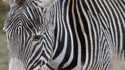 Animals, Grevy's, Marwell Zoo, Zebra @ MarWell Zoo, City of Winchester,England