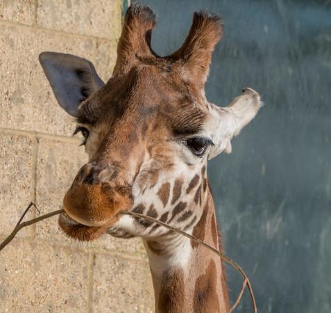 Animals, Giraffe, Marwell Zoo, Rothschilds Giraffe @ Marwell Zoo, City of Winchester,England - 04/02/2018