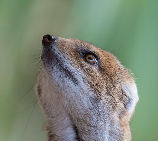 Animals, Marwell Zoo, Mongoose, Yellow Mongoose @ Marwell Zoo, City of Winchester,England - 04/02/2018