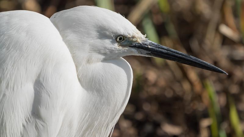 Animals, Birds, Egret, Little Egret, Marwell Zoo, Walkthrough Aviary @ Marwell Zoo, City of Winchester,England - 04/02/2018