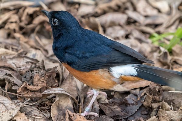 Animals, Birds, Marwell Zoo, Walkthrough Aviary, White-rumped Shama @ Marwell Zoo, City of Winchester,England - 04/02/2018