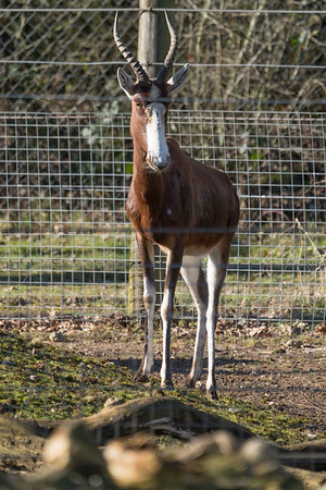 Animals, Blesbok, Marwell Zoo @ Marwell Zoo, City of Winchester,England - 04/02/2018