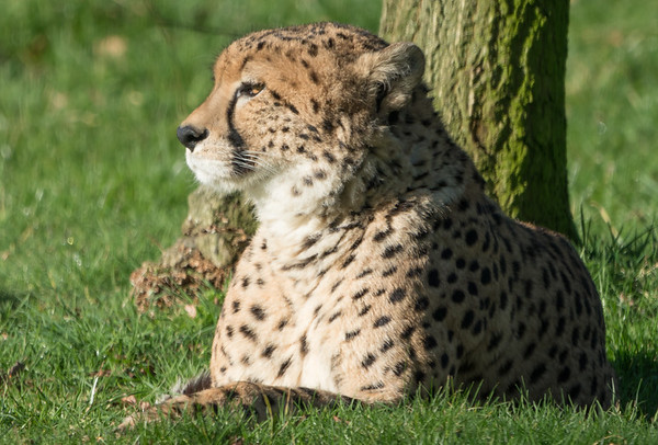Animals, Big Cat, Cheetah, Marwell Zoo @ Marwell Zoo, City of Winchester,England - 04/02/2018