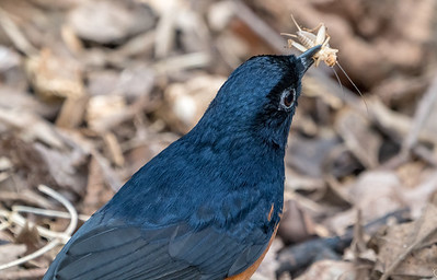 Animals, Birds, Marwell Zoo, Walkthrough Aviary, White-rumped Shama @ Marwell Zoo, City of Winchester,England - 04/02/2018