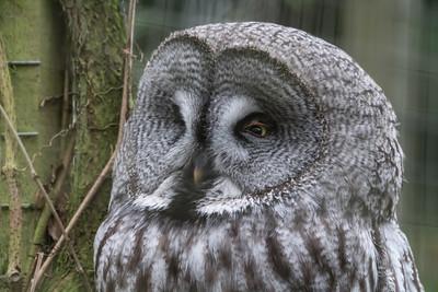 Animals, Birds, Great Grey Owl, Marwell Zoo, Owl @ Marwell Zoo, City of Winchester,England - 04/02/2018