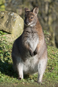 Animals, Marwell Zoo, Red-necked Wallaby, Wallaby @ Marwell Zoo, City of Winchester,England - 04/02/2018