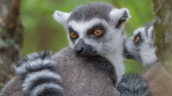Animals, Lemur, Marwell Zoo, Ring-tailed Lemur @ MarWell Zoo, City of Winchester,England - 05/08/2017