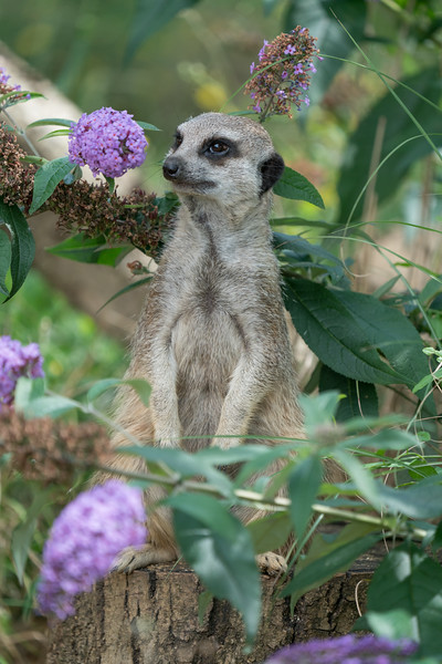 Animals, Marwell Zoo, Meerkat, Slender-tailed Meerkat @ MarWell Zoo, City of Winchester,England - 05/08/2017