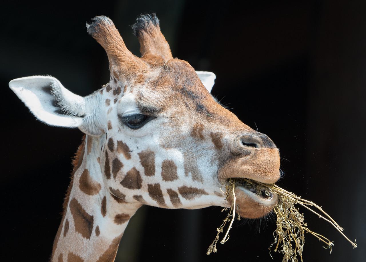 Animals, Giraffe, Marwell Zoo, Rothschilds Giraffe @ MarWell Zoo, City of Winchester,England - 05/08/2017