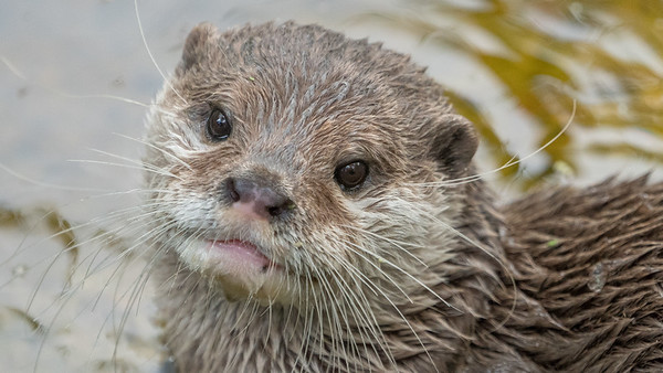 Animals, Marwell Zoo, Oriental Short-Clawed Otter, Otter @ MarWell Zoo, City of Winchester,England - 05/08/2017