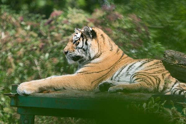 Amur Tiger, Animals, Big Cat, Marwell Zoo, Siberian Tiger, Tiger @ MarWell Zoo, City of Winchester,England - 05/08/2017