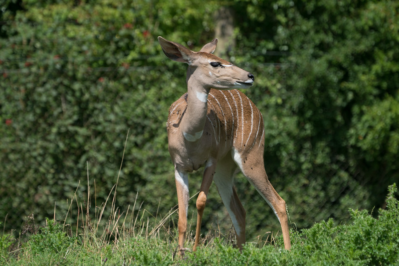 Animals, Lesser Kudu, Marwell Zoo @ MarWell Zoo, City of Winchester,England - 05/08/2017