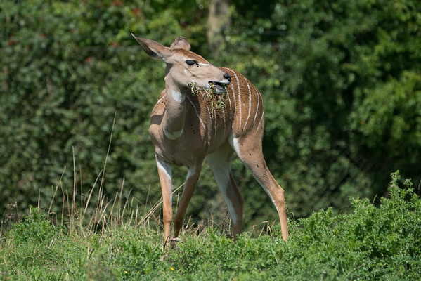 Animals, Lesser Kudu, Marwell Zoo @ MarWell Zoo, City of Winchester,England - 05/08/2017